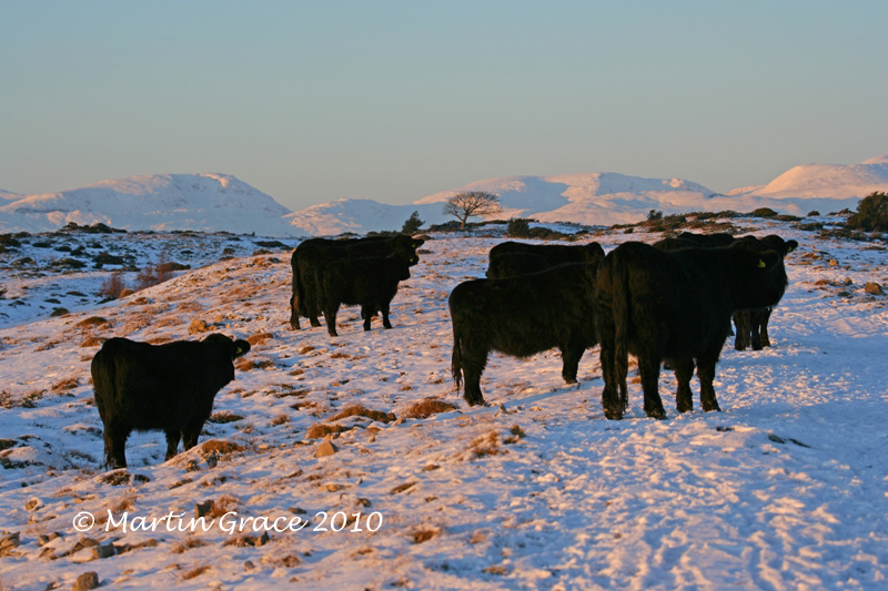 Welsh Black Cattle on Whitbarrow at Dusk, January 7 2010 R 001EL